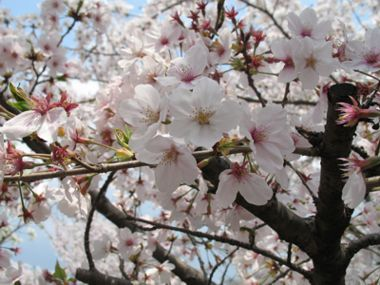 Sakura, pavasaris
